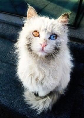 Бяло коте с различни очи