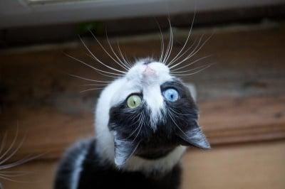 Черно-бяла котка с различни очи