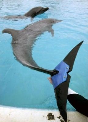 Делфин с изкуствен плавник