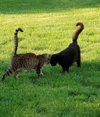 Две котки се галят