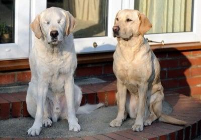 Двете кучета водачи на незрящ човек