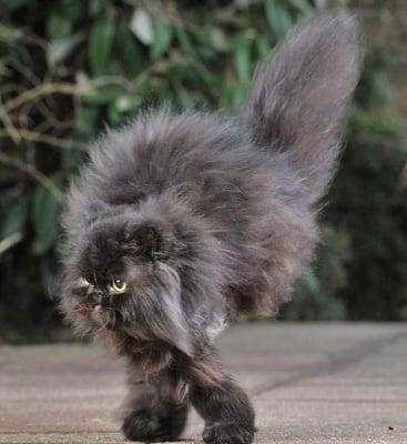 Двукрака персийска котка