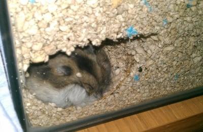 Хамстер копае дупки