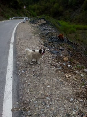 Тервел -  Българска овчарка