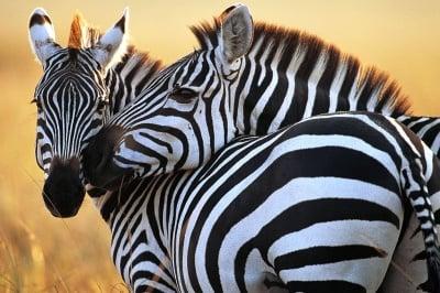 Ивиците на зебрата различни като пръстови отпечатъци