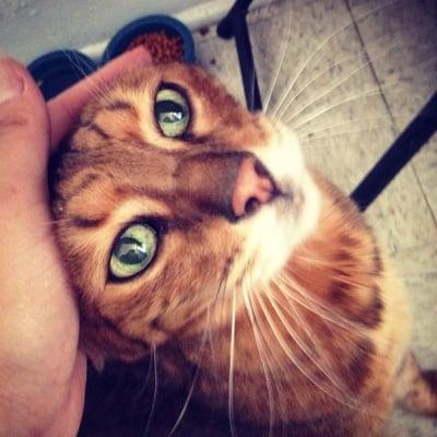 Кафява котка