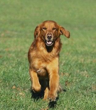 Обучение на кучето: Урок №4. Научете кучето да идва при повикване