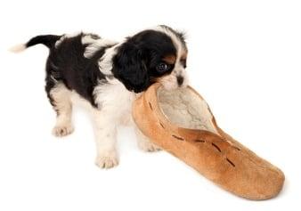 Как да обучим кучето да носи