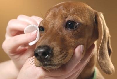 Как се почистват очи на куче