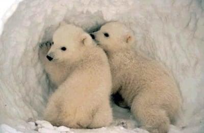 Как се топлят полярните мечки