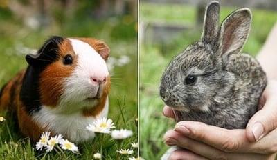 Зайци и морски свинчета