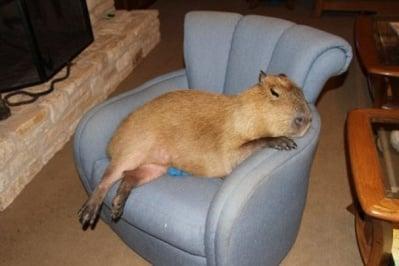 Капибара лежи на фотьойл