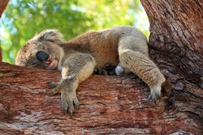 Колко часа спят коалите?