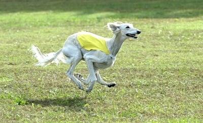 Колко километра развива Салуки при бягане?
