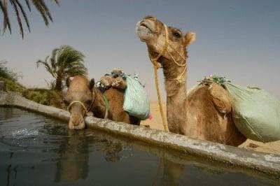 Колко вода може да изпие камилата?