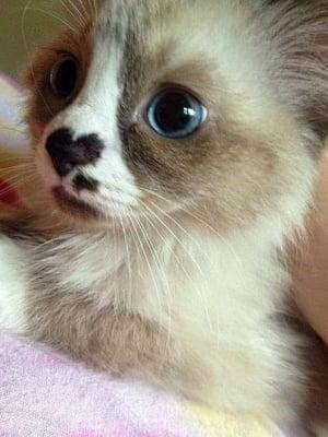 Котенце с носле сърце