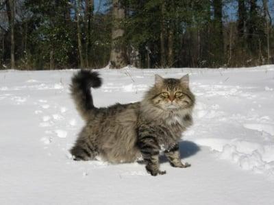 Котка бяга в снега