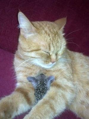 Котка осиновява таралежчета