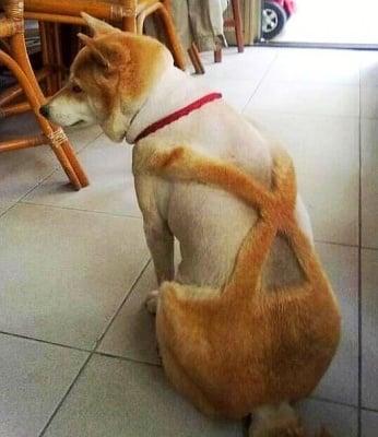 Куче, подстригано като гащеризон