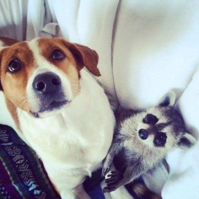Куче приятел с енот
