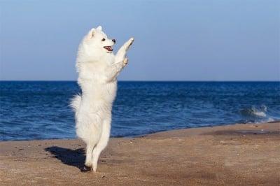 Обучение на кучето: Урок №26. Как да научим кучето си да танцува?