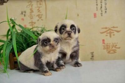 Кученца мечета панда