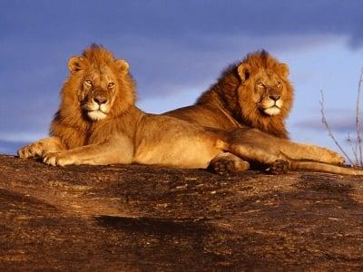 Лъвовете в Африка изчезват