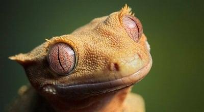 Листоопашат гекон