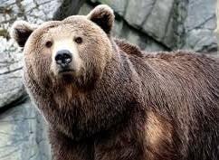 Изгладнели мечки тършуваха за храна в гръцко село