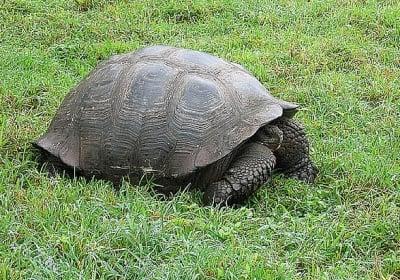 Слонските костенурки в Галапагос също мигрират