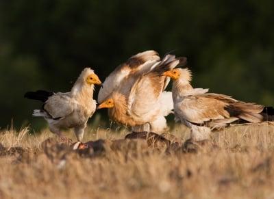 Нелегално убиване на лешояди