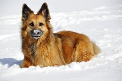 Немска овчарка в сняг