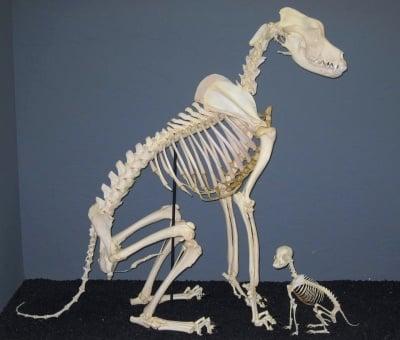 Скелет на Немски дог и Чихуахуа