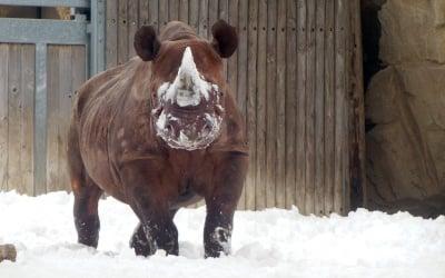 Носорог в снега