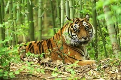 Кучешка болест заплашва Суматранските тигри