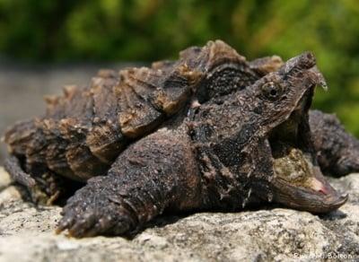 С какво е известна Алигаторовата костенурка?
