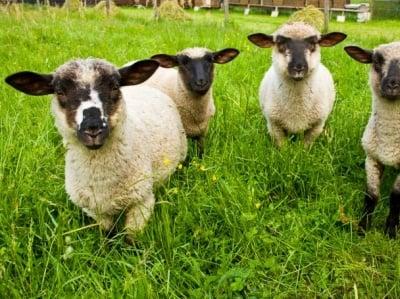 Хиляди овце измират от мистериозна ваксина в Азия