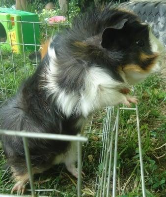 Лъки (Свинчо)
