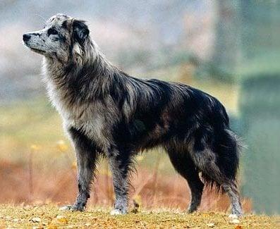 Пиренейска късокосместа овчарка