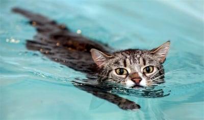 Плуват ли котките