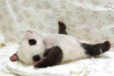 Първи снимки на новородена пандичка
