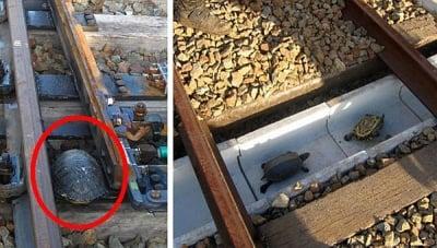 Японските железници правят специални тунели за костенурки