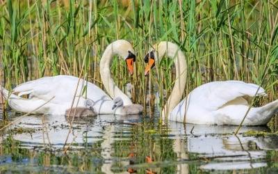 Семейство лебеди