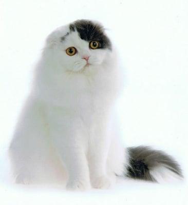 Шотландска клепоуха котка