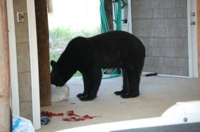 Скитаща се мечка в двор на къща