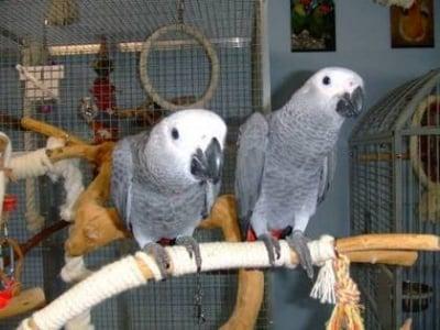 Африканския сив папагал за приемане