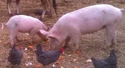 ЕК дава 20 млн. лева субсидия за хуманно отглеждане на птици и свине
