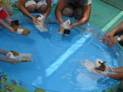 Свинчета на басейн