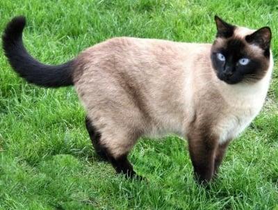 Тайска котка