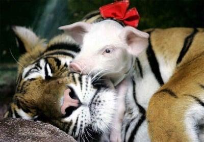 Тигрица с мало прасенце